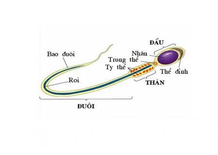 quá trình sinh tinh diễn ra như thế nào?